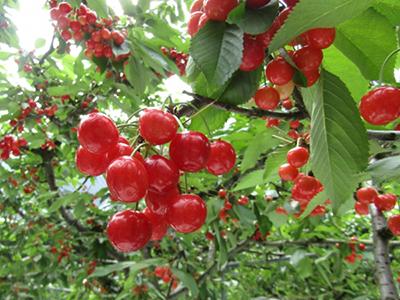 cherry032