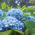 【あじさいスポット】雨の季節に豊かな彩り