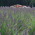日本最大級のラベンダー園「千年の苑」が嵐山町に来年開園!一足お先にプレオープン中
