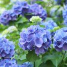 紫陽花と菖蒲の二重奏 ~正覚寺~