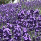 高貴な紫と薫香の紫。癒しの花を求めて訪れる、紫色に染まる街@久喜
