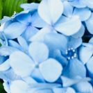 紫陽花と花菖蒲がお見事♪センター南の正覚寺