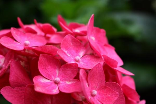 秘密の空間を発見!紳士が育てる紫陽花の花園にご招待♪@松山市谷町