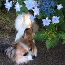 色とりどりの紫陽花とわんこたち