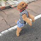 ななちゃん、お洒落な犬服ブランド・A  BIENTOT! 見学?