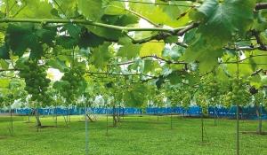 ワイナリー近隣で育つブドウ