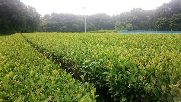 Tukuba tea