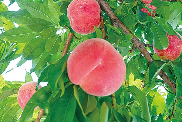 Pまるせい果樹園桃