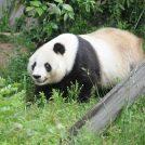 特別展「みんな大すき・ジャイアントパンダ~新たなる魅力発見」/神戸市立王子動物園