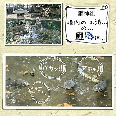 調神社のお池の鯉達