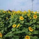 エミフルMASAKI北側・伊予鉄道古泉駅前に「恋泉畑」がオープン