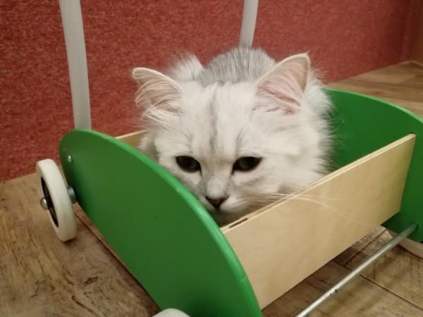 【全国第1号店】猫カフェPuchiMarry(ぷちまりー)