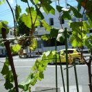 横浜初「日本ワイン」作りの情熱  横濱ワイナリー