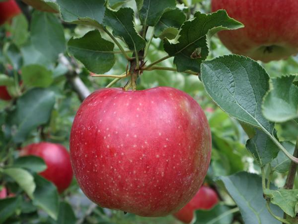 リンゴイメージ1