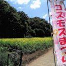100万本のコスモス畑!秋の行楽やハイキングに【横須賀】くりはま花の国