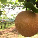 松戸の梨狩り体験しました★味覚の秋はフルーツ狩りを楽しもう!