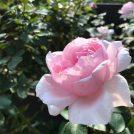 秋薔薇に癒されて…♪青葉区荏子田太陽公園