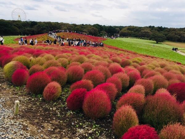 【秋のお出かけ】コキアの紅葉を見に国営ひたち海浜公園へ!