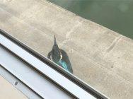 習志野市の谷津干潟自然観察センターでカワセミに遭遇!