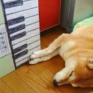 柴犬【虎太郎でんがな】日記 Vol.8