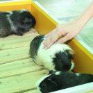 もふもふ! ウサギとモルモット@こどもの国・雪印こどもの国牧場「こどもどうぶつえん」