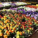 冬でも?冬だからこそ!花活を。@しょいか~ご千葉店の花苗が豊富!