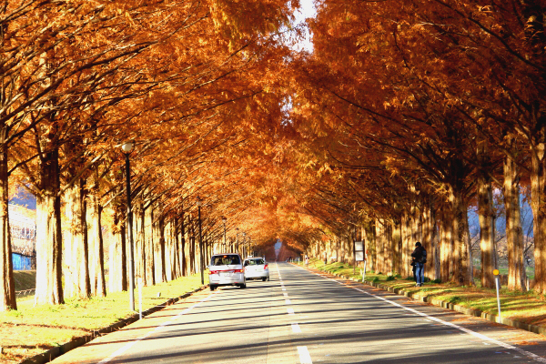 2キロ以上続く滋賀の絶景・メタセコイア並木道。レンガ色に染まる秋、到来!