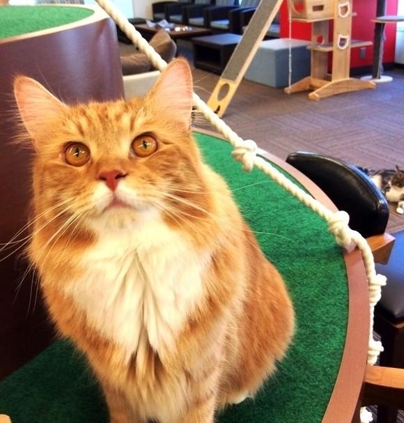 「猫カフェMyao」オープン!かわいい猫ちゃんが20匹以上で癒しの時間☆@千葉中央駅