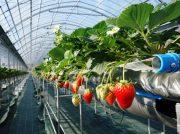 試食もできるおしゃれなストロベリーファームが茨木のthe Farm UNIVERSALにオープン!