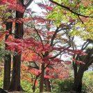 国分寺駅直近!殿ヶ谷戸庭園でフォトジェニックなイロハモミジの紅葉を