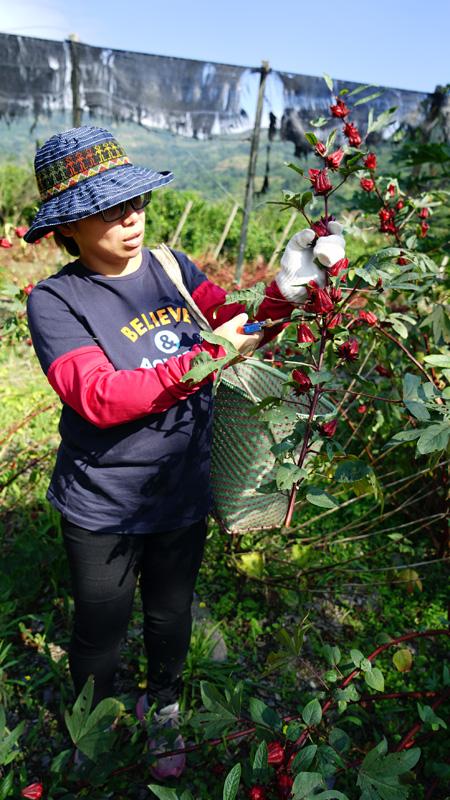 洛神花の収穫作業