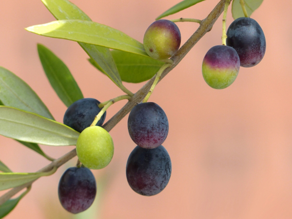 190206_olive_olive1