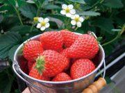 愛媛のイチゴ狩り 18スポットを紹介!あま〜い香りいっぱいのハウスへ イチゴ狩りに出かけよう