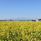 三浦半島・ソレイユの丘では、早咲きの菜の花が見頃!外遊びもいっぱい!