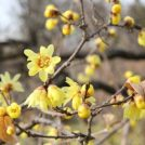 神代植物公園の「梅まつり」2/5(火)~ 3/3(日)開催