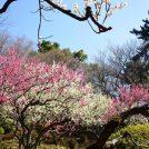 梅の花を楽しもう「第31回 大倉山観梅会」開催!野点や梅酒の試飲・販売も