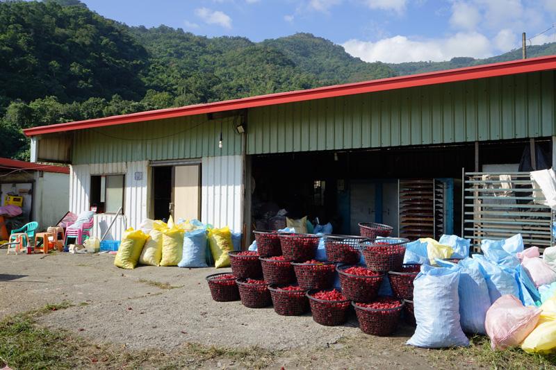 洛神花(ハイビスカス)茶の工場