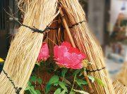 双海の水仙、松山の椿、東温市の牡丹、早春に出会う愛媛の花めぐり