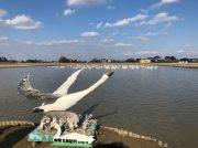 印西市で白鳥に出会えるスポット「白鳥の郷」に行ってみた
