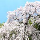 【2019年お花見】春の人気イベント「桜ウォーク」参加者募集!