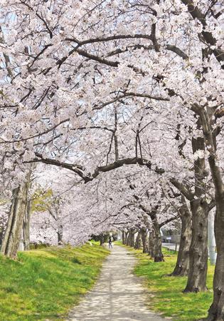 松山のまちを桜と追いかけっこ