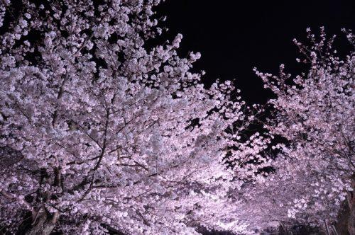 ⑤30黒鳥山桜ライトアップ