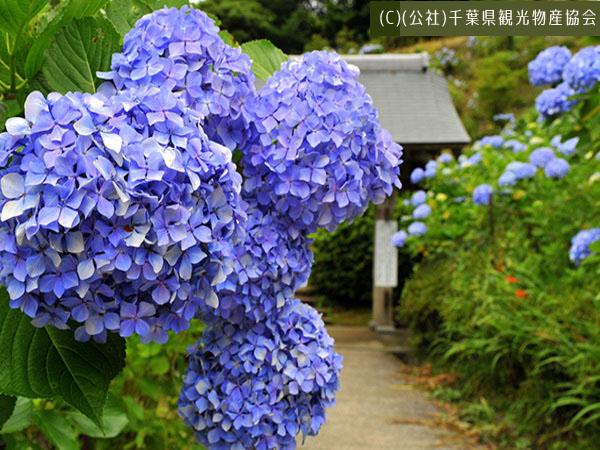 ちばの花カレンダー【初夏編】まもなく見ごろを迎える花スポットを紹介♪