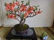入園、見学無料の千葉市都市緑化植物園「早春の盆栽作風展」を楽しんで