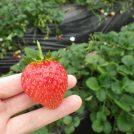 【鹿沼】甘いイチゴが食べ放題!!幸せの楽園「出会いの森いちご園」
