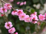 満開の梅とウグイスで春の訪れを実感♪@七折梅まつり