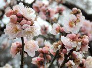 【大倉山】早春の香りを楽しめる♪大倉山公園梅林
