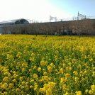 川和町駅前の菜の花畑、2019年は満開です!