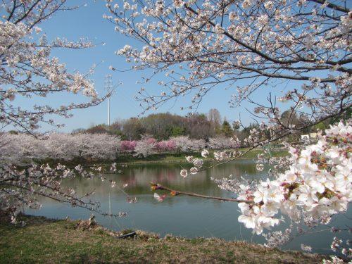 花博記念公園ソメイヨシノ2