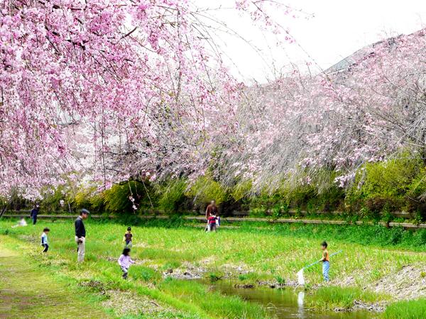 春の人気イベント「桜ウォーク」参加者募集!